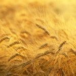Mangzhong, il grano è maturo